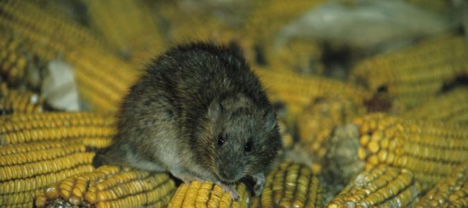 Norway rat invasive species