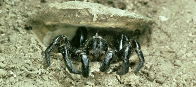 Trapdoor Spider Texas