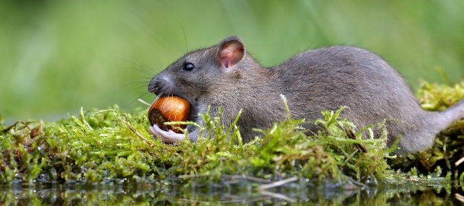 Types Of Rats In Texas What Homeowners Should Know Abc Blog