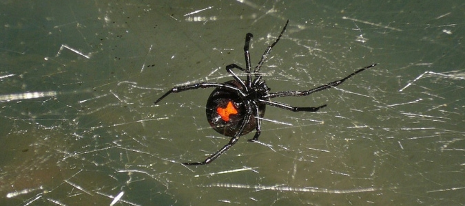 black spiders in texas