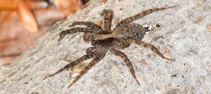 Grass Spider Bite