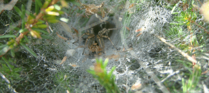 Grass spiders Texas