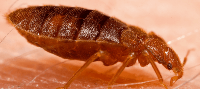 other bugs that look like bed bugs