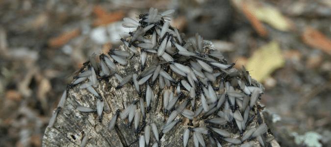Do termites eat cedar