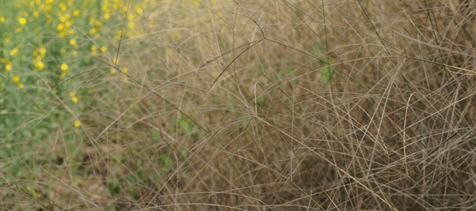 Types of crabgrass