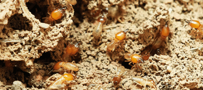 What do termites eat besides wood