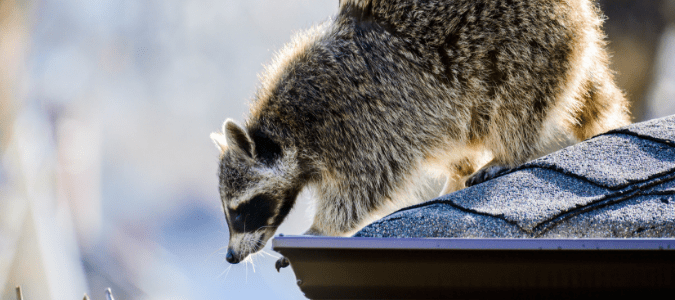 How to keep raccoons off your roof