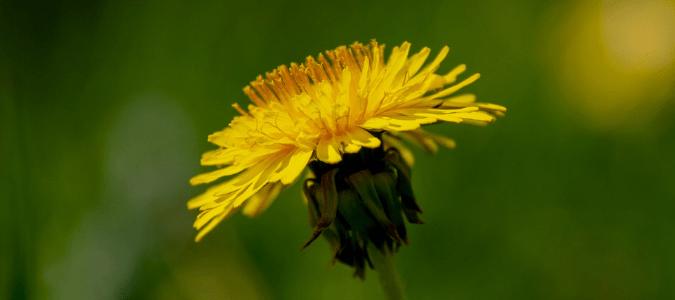 Identify weeds in St. Augustine grass