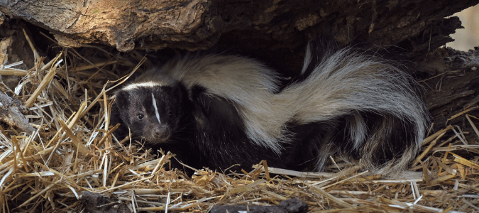 Where do skunks live