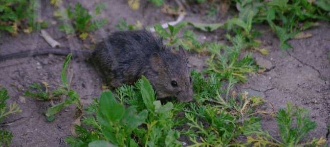 Rodents in Texas