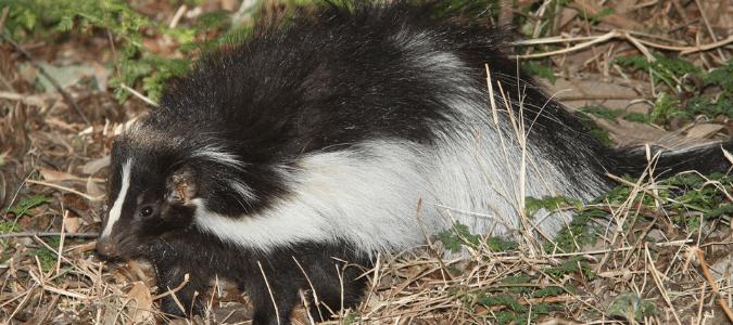 Do skunks bite