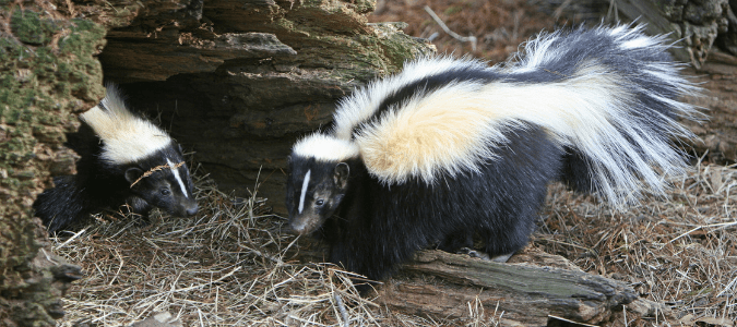 Do skunks hibernate