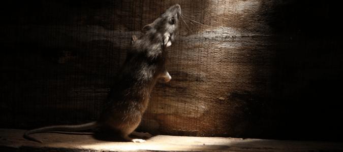 where do mice hide