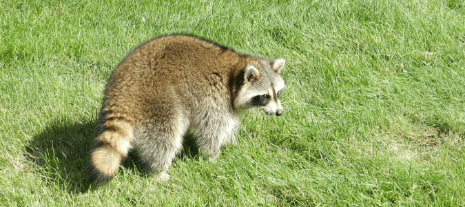 What to do if you see a raccoon