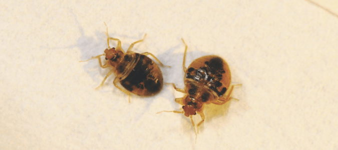 do baby bed bugs bite