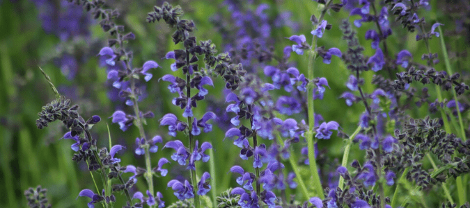 A common Texas salvia is mealy cup sage