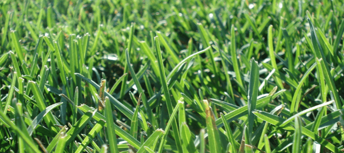 a patch of st augustine grass
