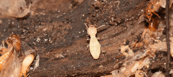 soldier and alate termites