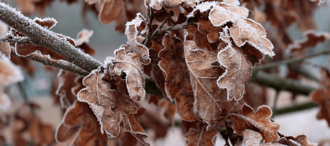 frozen leaves hanging from a tree