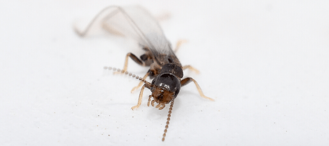 Do Termites Have Wings Identification Tips Abc Blog