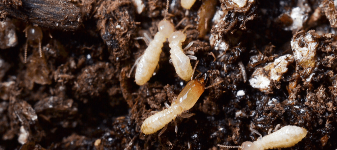 termites crawling through mulch