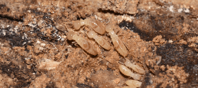 A group of termites on wood