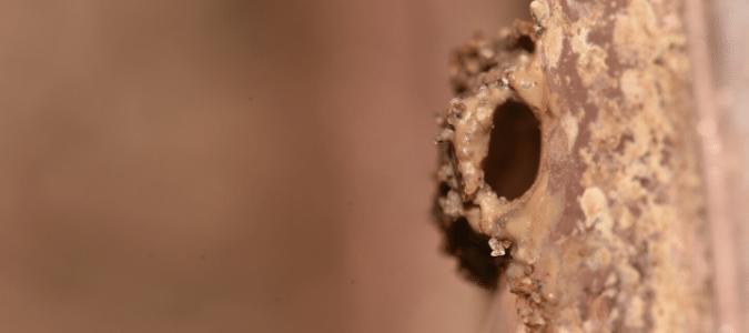 termite mud tunnel