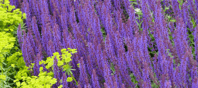 using salvias to xeriscape