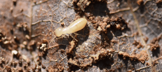 a termite larva crawling on a leaf