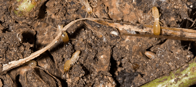 Subterranean termites burrowing in dirt