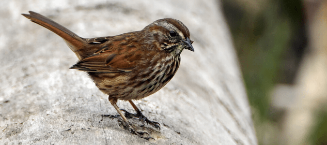 Sparrow eating a swarming termite