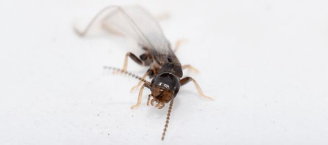 A subterranean termite swarmer