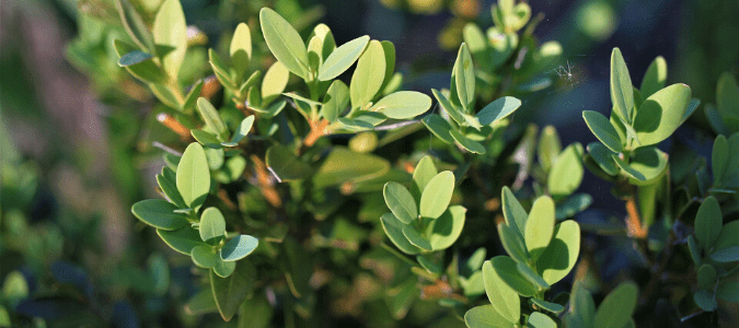 A Japanese boxwood shrub which is considered a Texas evergreen shrub