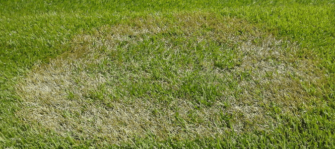 A lawn that has brown patch, which is a common cause of yellow spots in grass