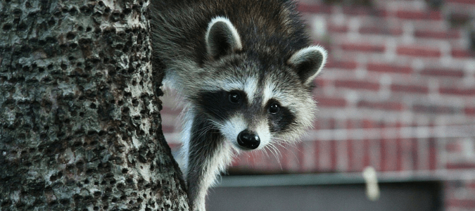 "A raccoon climbing down a tree, which may lead a homeowner to wonder, ""Do raccoons attack?"""