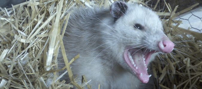 A possum bearing its teeth as if it was going to attack
