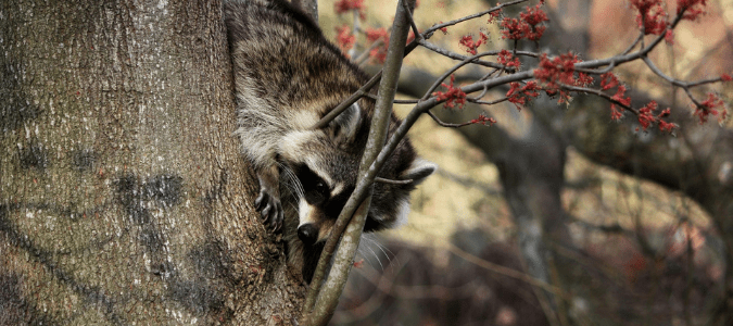 a raccoon climbing down a tree