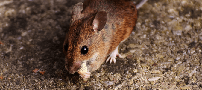 A mouse out during the day eating a piece of food