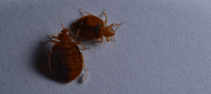 two bed bugs with a bed bug egg, which are some of the early signs of bed bugs