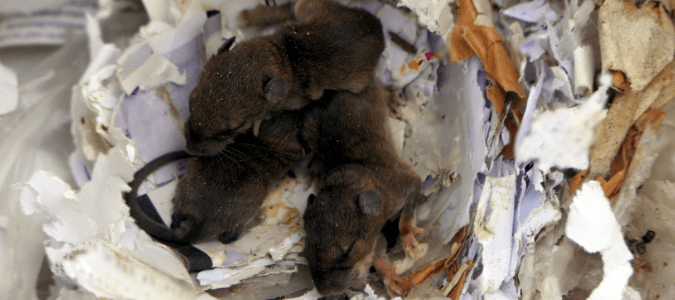 Three dark-colored immature rats sleeping in a nest made of torn paper and other materials