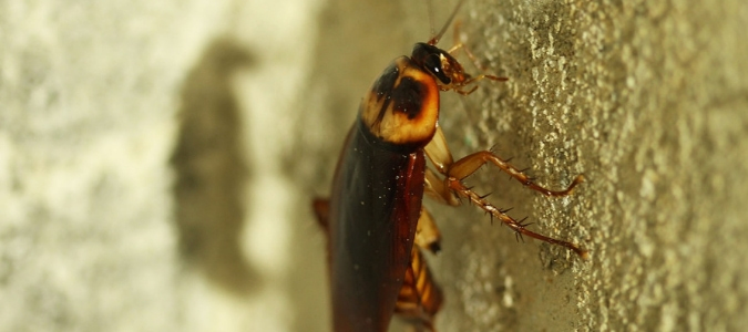 an American cockroach which is one variety of flying cockroach in Florida