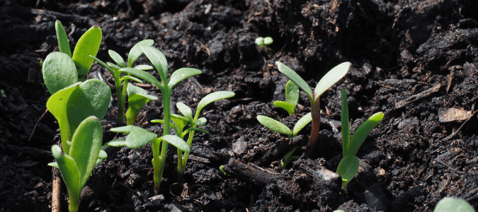 herbs sprouting in a garden