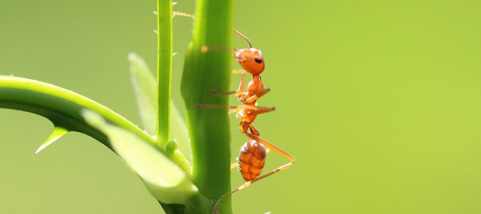 a fire ant on a rose stem