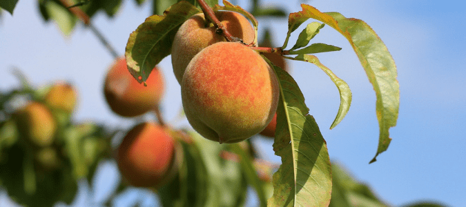a peach tree which is a low maintenance fruit tree