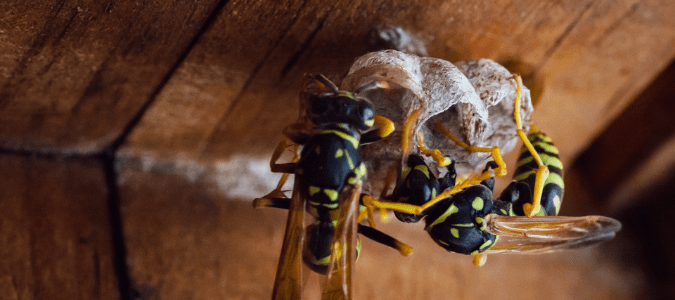 two yellowjackets on a nest