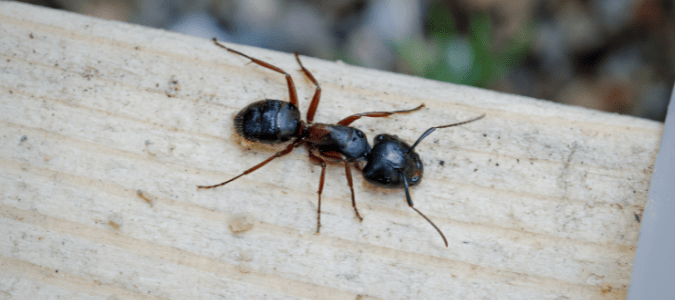 a big black carpenter ant on a piece of wood