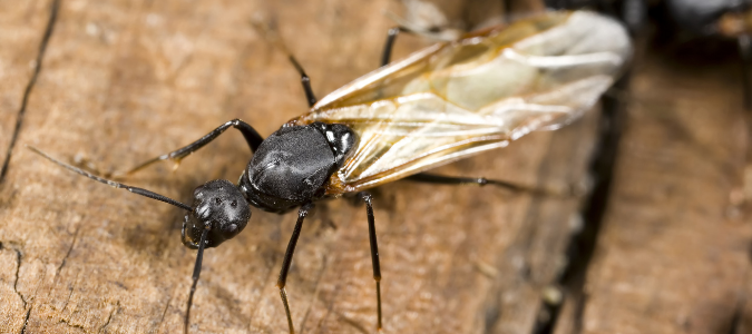 a winged carpenter ant