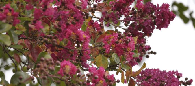 a large pink crepe myrtle tree
