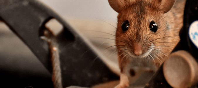 a house mouse crawling around a garage