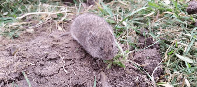 a field mouse near its burrow